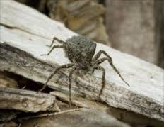 Get Rid of Wolf Spiders: Wolf Spider Bites & Information - Spiders ...
