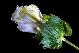 pamuk çiçeği ile ilgili görsel sonucu