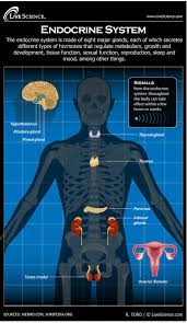 human endocrine system   diagram   how it worksdiagram of the human endocrine system  infographic
