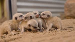 Meerkat pups that <b>fit in your hand</b> - BBC News