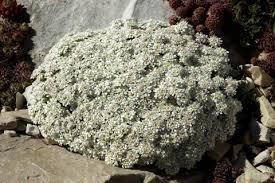 Iberis pruitii candolleana | North American Rock Garden Society