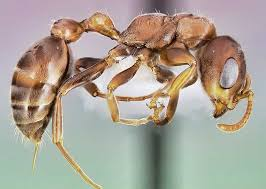 Image result for cut buldog ant australia
