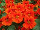 Moraea sisyrinchium (L.) Ker Gawl. {ID 3605} - Giaggiolo dei ...