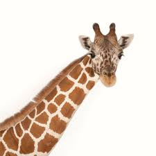 <b>Giraffe</b> | National Geographic