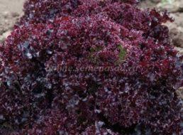 <b>Семена Салат листовой</b> Бейби Ливз цветной, <b>смесь</b>: описание ...
