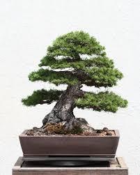 scots pine bonsai tree bonsai tree office table