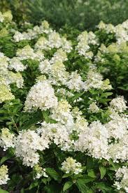 <b>Sweet Summer</b> Panicle Hydrangea
