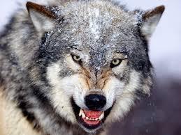 Resultado de imagen de imagenes de lobos