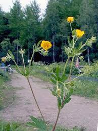 Thuringian Cinquefoil, Potentilla thuringiaca - Flowers - NatureGate