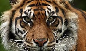 Sunda <b>Tiger</b> | <b>Species</b> | WWF