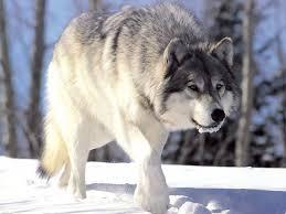 <b>Волк</b> — Википедия