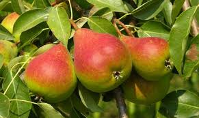 Image result for fruit trees