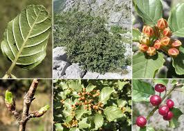 Frangula rupestris (Scop.) Schur - Flora urbana della città di Trieste