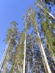 eucalypt grandis