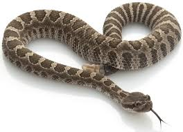 rattlesnake meat,rattlesnake meat for sale,<b>snake meat</b> for sale,buy ...