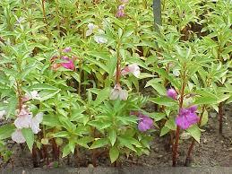 Balsaminaceae - Wikipedia