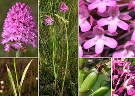 Anacamptis pyramidalis (L.) Rich. - Sistema informativo sulla flora ...