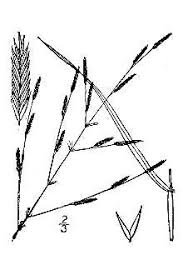 Plants Profile for Eragrostis pectinacea (tufted lovegrass)