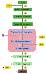 biology made simple  glycolysis broken downplease feel   to leave comments to let me know if you thought this blog was useful or if there is anything that i can improve upon  thanks