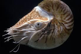 <b>Nautilus pompilius</b> - Wikispecies