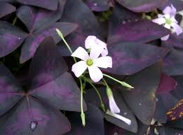 Oxalis triangularis - Wikipedia