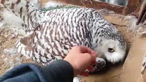 Полярная <b>сова</b> на кладке - YouTube
