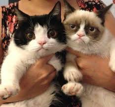 Grumpy Cat breed: Snowshoe Siamese - PandaWhale via Relatably.com