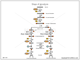 steps of glycolysis ppt powerpoint drawing diagrams  templates    steps of glycolysis  ppt powerpoint drawing diagrams  templates  images  slides