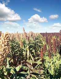What is Sorghum? Naturally Gluten Free   Nu Life Market