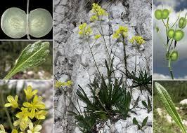 Biscutella laevigata L. subsp. laevigata - Sistema informativo sulla ...