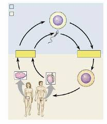ap lectureguide label the diagram of the human lifecycle  include the chromosome numbers