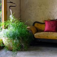 Afbeeldingsresultaat voor asparagus kamerplant sprengeri