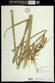 SEINet Portal Network - Carex jamesonii var. gracilis