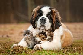 Image result for saint bernard with kitten