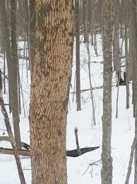 Image result for emerald ash borer and woodpeckers