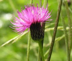 Cirsium pannonicum (L. f.) Link {ID 2166} - Cardo serretta - Forum ...