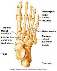 bone anatomy of foot   anatomy human body    bone anatomy of foot tag human foot bones pictures human anatomy diagram