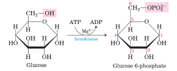 glycolysis   all steps with diagram  enzymes  products  energy    glycolysis step