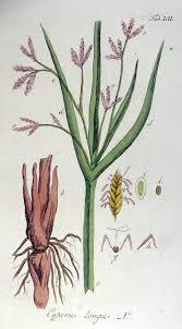 Cyperus longus - Wikipedia
