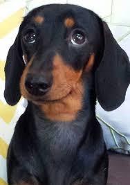 Image result for dachshund begging