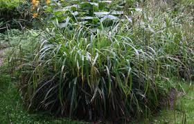 Carex pendula - Viquipèdia, l'enciclopèdia lliure