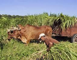 Risultati immagini per mucca cubana
