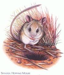 Image result for Spinifex hopping mouse.