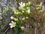 arenaria groenlandica
