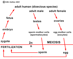 lab manual exercise   in the human life cycle  and the life cycles of most multicellular animals   the only cells that are haploid are the sperm and egg