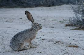 Image result for JACKRABBIT
