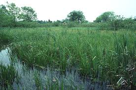 Image result for northern sedge