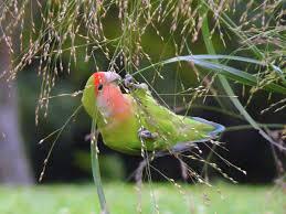 Lovebird - Wikipedia