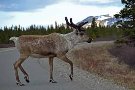 photo essay denali national park travel photography and other prancing caribou