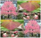 Images & Illustrations of katsura tree